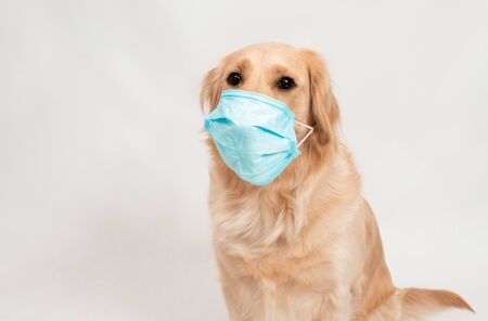 Female woman in medical protected face mask with dog Golden retriever on white isolated. A dog looking at camera with medical mask on white background. Pets hygiene concept Imagens