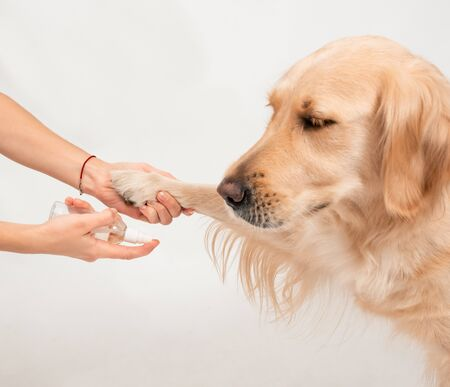 Girls hand holding dogs paw to disinfect with a sanitizer. Closeup White golden retriever. Studio shot, paws care, health care