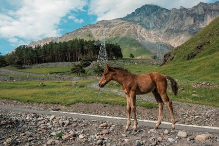 Wild horses grazes in a meadow at the foot of the Caucasus Mountains. Two horses background. In the field of scenic nature landscape