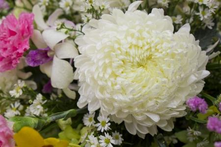 Closeup of beautiful tinted white chrysanthemums Stock Photo