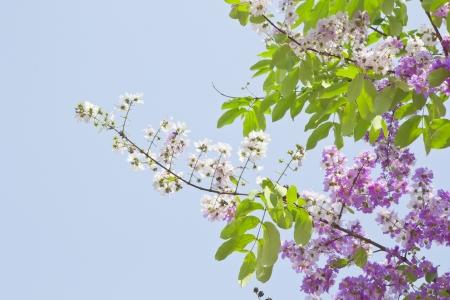 Cananga Flowers Cananga odorata, Thai Flower  Tabak