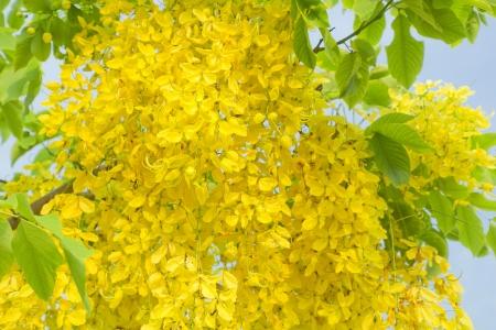 fabales: Cassia fistula flowers national of thailand