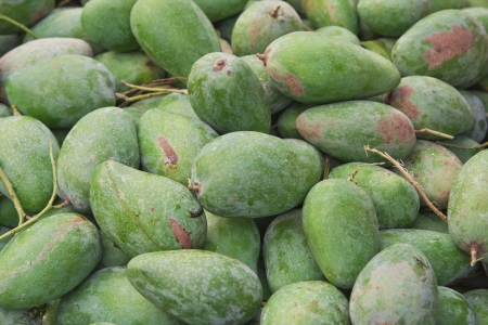 Organically grown green mangoes hanging from a tree Stock Photo - 19082881