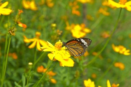 mariposas volando: Queen Butterfly Foto de archivo