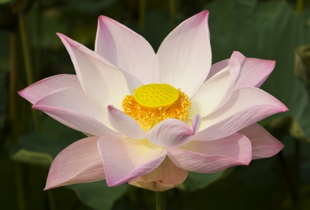 a beautiful sacred lotus opening in the sun