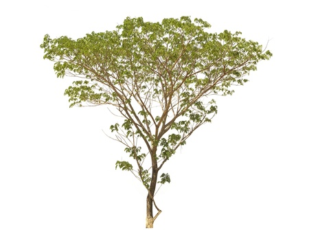 Rain tree (Samanea saman), tropical tree in the northeast of Thailand isolated on white background