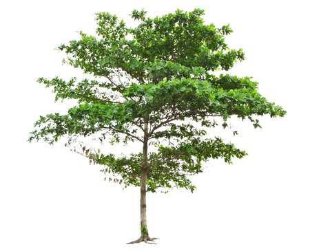 Terminalia catappa also known as Tropical almond, Bengal almond, Indian almond, Sea almond, Beach almond, tropical tree in the northeast of Thailand isolated on white background Stock Photo