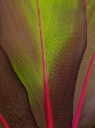Close up of a banana tree leaf, lit from behind to show detail Stock Photo