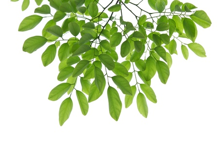 Beech leafs on white background