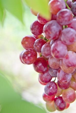Fresh grape close up