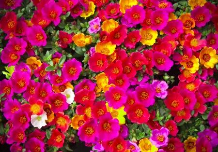 Portulaca flower in garden Stock Photo