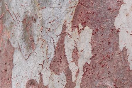bark of a eucalyptus tree in Thailand