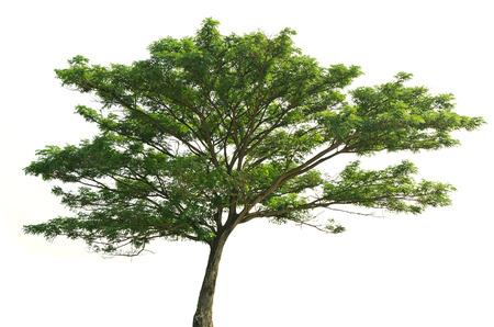 Rain tree  Samanea saman , tropical tree in the northeast of Thailand isolated on white background