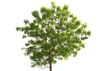 Neem plant tropical tree in the northeast of Thailand isolated on white background
