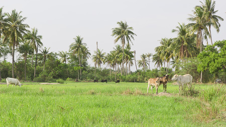 cows in field ,thailand