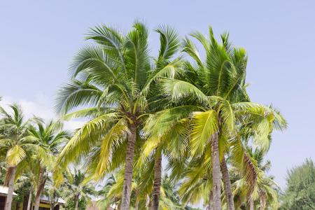 Three palms tree on cuban beach landscape Stock Photo