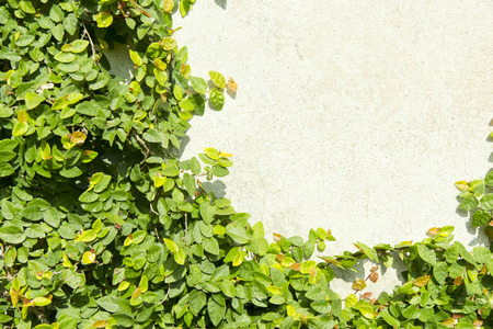 Ivy growing on concrete wall
