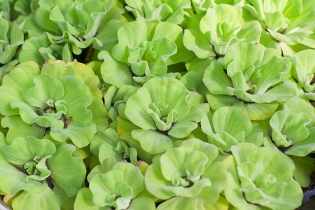 water lettuce for background