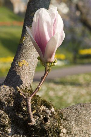 今にも咲きそうマグノリアの花