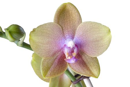 Phalaenopsis (orchid) isolated on white photo
