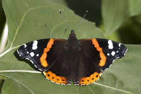 hedged: A newly hedged admiral butterfly sunbathing Stock Photo