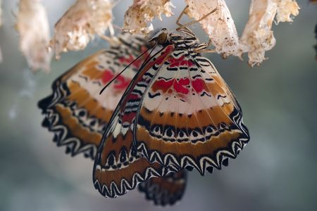 hatched: Two freshly hatched butterflies with cocoons