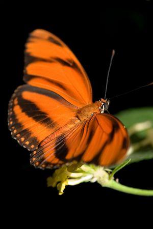 vividly: Vividly orange butterfly on black background