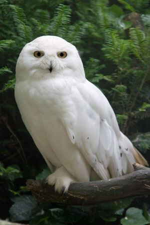 A snow owl looking at the camera photo