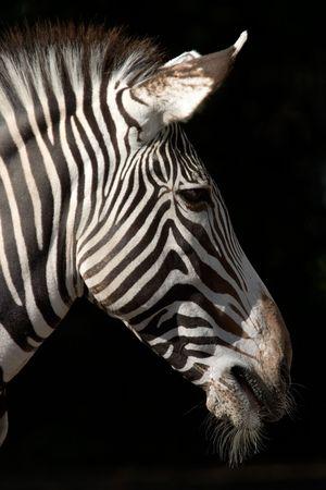Zebra head isolated on black photo