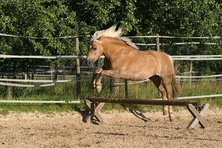 Haflinger horse (mare) jumping over a low set bar photo