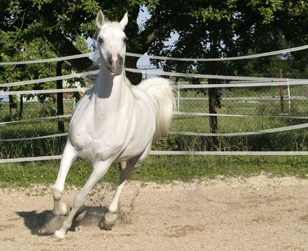 Galloping white horse having fun on the paddock. photo