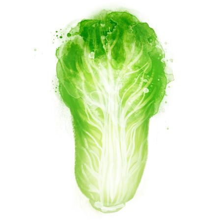 Watercolor vector vegetables set: Napa cabbage on white
