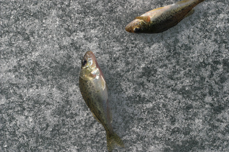 caudal: Two caught live fish on ice Stock Photo