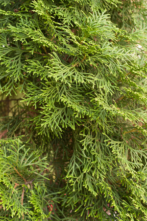 arborvitae: evergreen arborvitae branches close-up Stock Photo