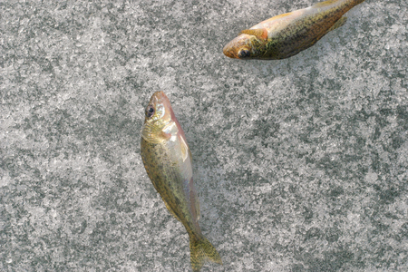 caudal fin: Two caught live fish on ice Stock Photo