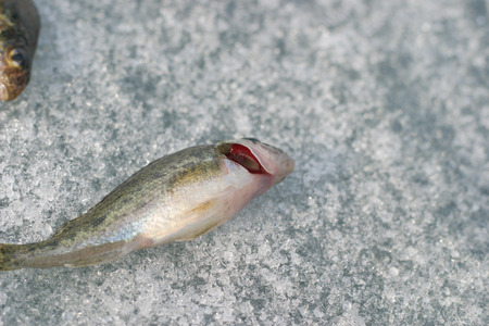 caudal fin: live fish. red gills.close-up