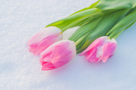 suitable: Beautiful pale pink tulips on the white snow. Suitable for postcards and greeting the Mothers Day, Spring holidays, Valentines Day Stock Photo