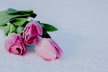적합: 하얀 눈에 아름 다운 창백한 핑크 튤립입니다. 엽서에 적합하고, 어머니의 날, 봄 휴일 인사말, 발렌타인 데이