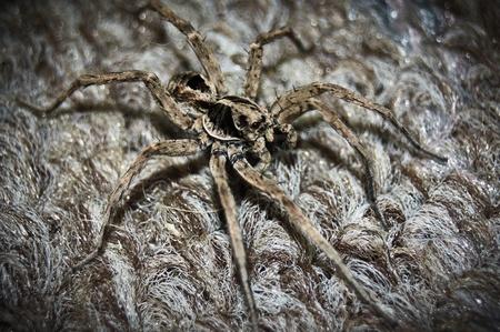 wolf spider: Wolf Spider