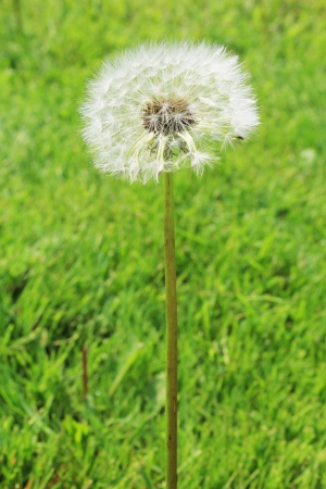 Dandelion fluff in a meadow photo