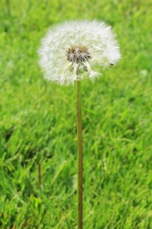 fluff: Pelusa del diente de le�n en un prado