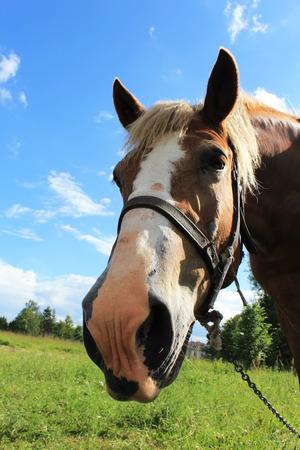 rudi arklys ganymo pievoje Reklamní fotografie