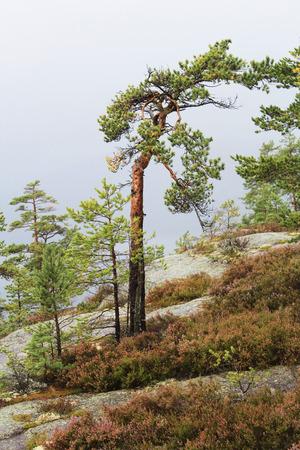 pine trees: Pine trees grow on rocky hills Stock Photo