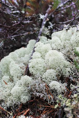 liquen: Liquen reno (Cladonia portentosa)