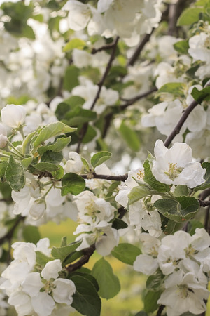 twig: Blooming apple twig Stock Photo