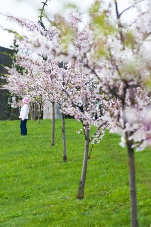copy sapce: child standing in blooming sakura garden
