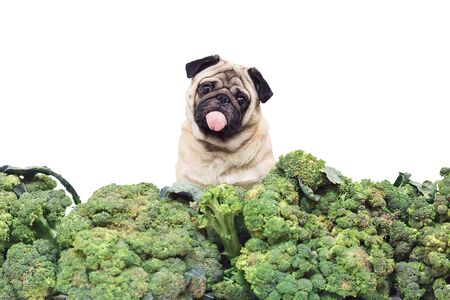 pug with its tongue sticking out is sitting in big heap of broccoli and looking in surprise. Healthy eating concept. vegan dog. isolated on white