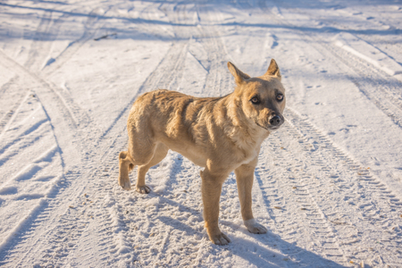 redhead stray dog frozen in the snow Stock Photo