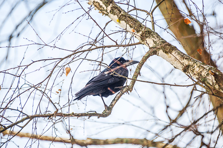 black crow on a tree, bird looking for prey on a birch tree Stock Photo