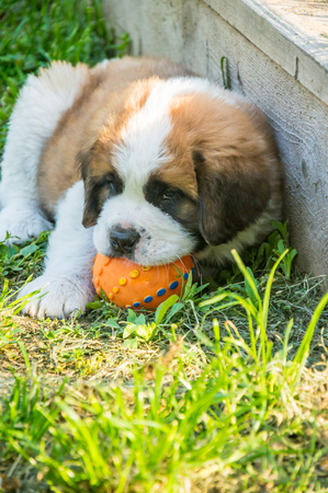 Saint Bernard puppy playing in the summer outside , on green grass, good dog, cute doggy Stock Photo